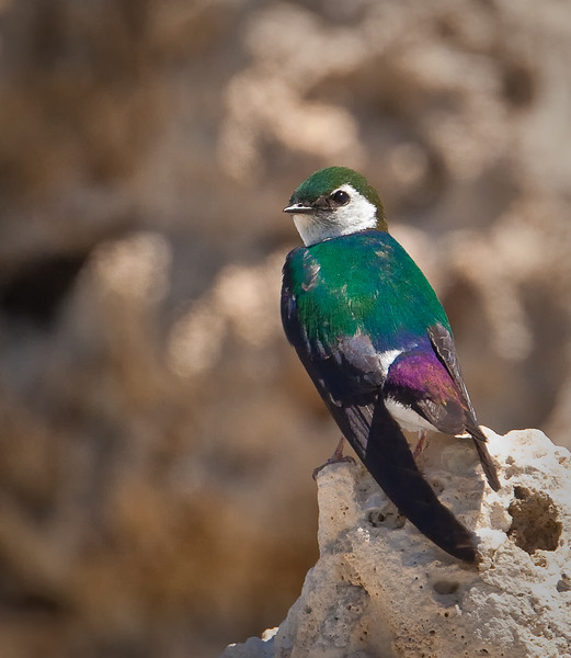 Violet-green Swallow, adult male South Tufa State Reserve Mono Lake, ...